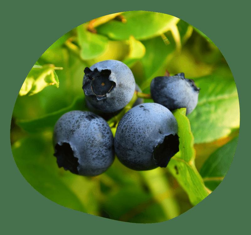 Biovancia Santé - Actif Pterostylbene