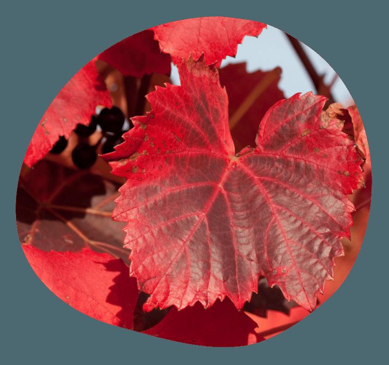 Biovancia Santé - Bulle Actif Vigne Rouge